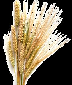 Barley Transparent Background PNG Clip art
