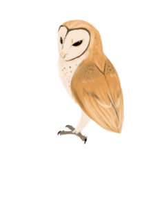 Barn Owl Download PNG Image PNG Clip art