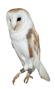 Barn Owl PNG Background Image PNG Clip art