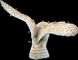 Barn Owl PNG Clipart PNG Clip art