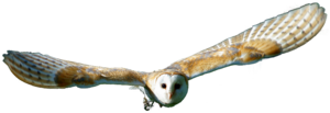 Barn Owl PNG Transparent HD Photo PNG Clip art