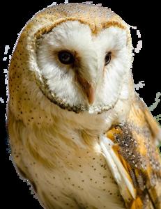 Barn Owl Transparent PNG PNG Clip art