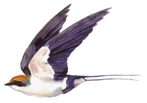 Barn Swallow Download PNG Image PNG Clip art