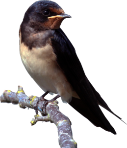 Barn Swallow PNG Clipart PNG clipart