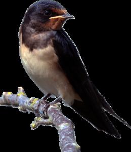 Barn Swallow PNG Clipart PNG Clip art
