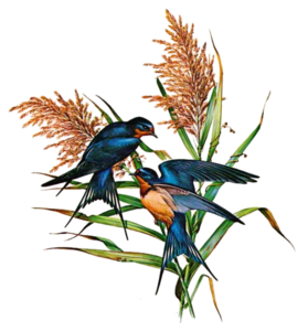 Barn Swallow PNG Photo PNG Clip art