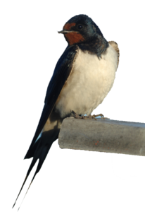Barn Swallow PNG Photos PNG Clip art