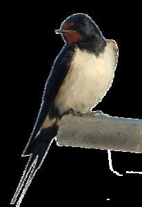 Barn Swallow PNG Photos PNG Clip art