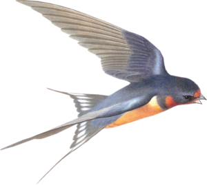 Barn Swallow PNG Picture PNG clipart