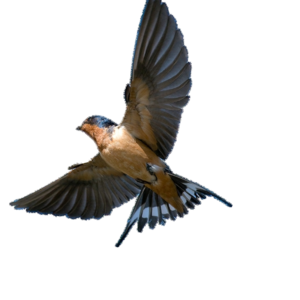 Barn Swallow PNG Transparent Picture PNG Clip art