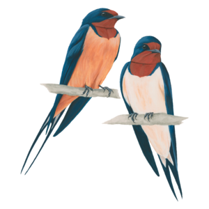 Barn Swallow Transparent PNG PNG icon