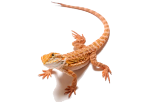 Bearded Dragon PNG Clipart PNG Clip art