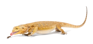 Bearded Dragon PNG File PNG Clip art