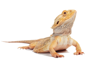 Bearded Dragon PNG HD PNG Clip art