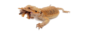 Bearded Dragon PNG Image PNG Clip art