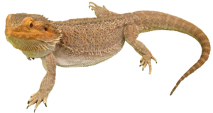 Bearded Dragon PNG Photos PNG Clip art