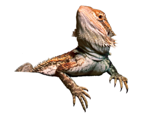 Bearded Dragon PNG Transparent Image PNG Clip art