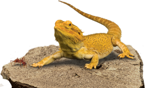 Bearded Dragon Transparent Background PNG Clip art