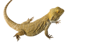 Bearded Dragon Transparent PNG PNG Clip art