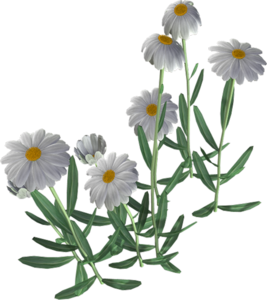Beautiful Camomile Flower PNG PNG Clip art