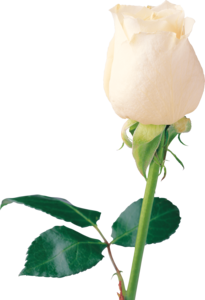 Beautiful White Rose PNG PNG Clip art