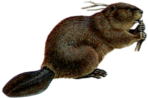 Beaver PNG Picture PNG Clip art