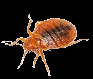 Bed Bug Download PNG Image PNG Clip art