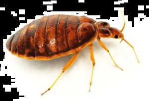 Bed Bug PNG File PNG Clip art