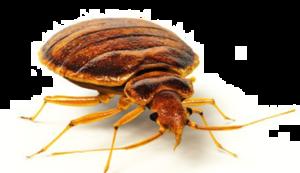 Bed Bug PNG Image PNG Clip art