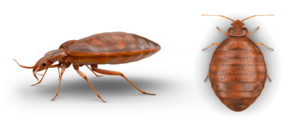 Bed Bug PNG Photo PNG Clip art