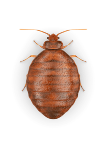 Bed Bug PNG Photos PNG Clip art