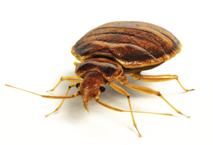 Bed Bug PNG Pic PNG Clip art