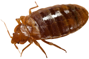 Bed Bug PNG Transparent Picture PNG Clip art