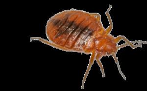 Bed Bug PNG Transparent PNG Clip art