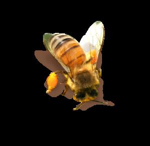 Bee PNG Clipart PNG Clip art