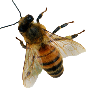 Bee PNG Image PNG Clip art