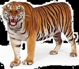 Bengal Tiger PNG Clipart PNG image