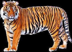 Bengal Tiger PNG File PNG Clip art