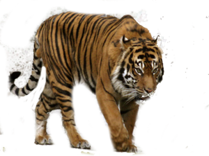 Bengal Tiger PNG Free Download PNG Clip art