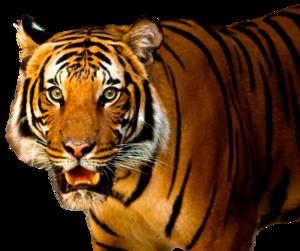 Bengal Tiger PNG HD PNG image