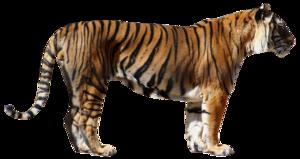 Bengal Tiger PNG Photos PNG Clip art