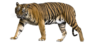 Bengal Tiger PNG Picture PNG image