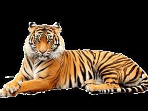 Bengal Tiger Transparent Background PNG Clip art