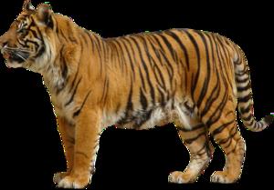 Bengal Tiger Transparent PNG PNG icon