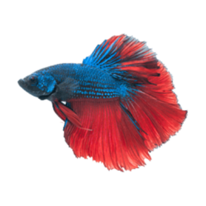 Betta PNG File PNG Clip art
