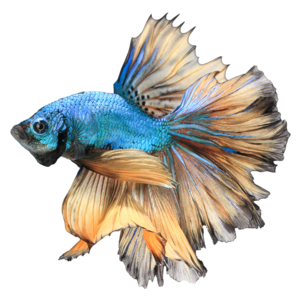 Betta PNG Free Download PNG Clip art