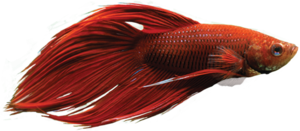Betta PNG HD PNG icon