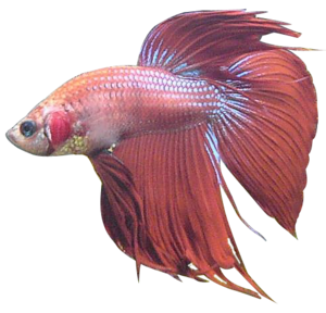Betta PNG Photo PNG Clip art