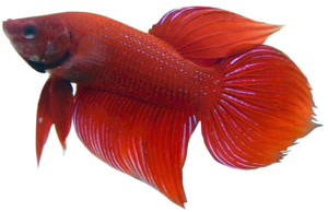 Betta PNG Picture PNG Clip art