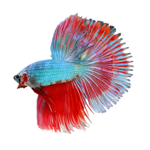 Betta PNG Transparent Image PNG icon